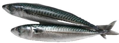 Риба Скумрия